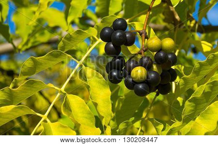 Fruits of Amur corktree in a autumn sunlight