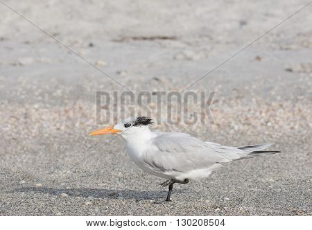 Royal Tern on the beach standing on one leg
