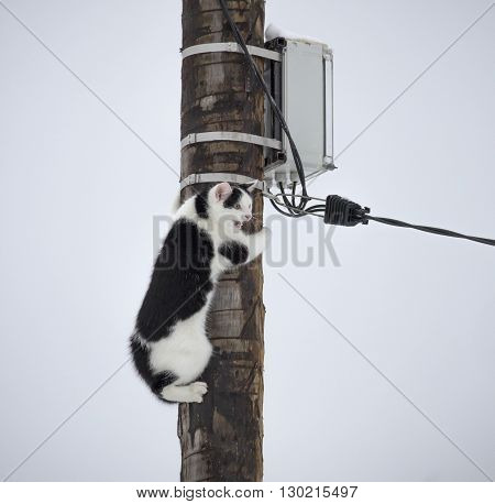 Screaming white and black cat is on the pole