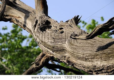 An ancient cypress tree branch on the Confucius Temple grounds in Beijing China.