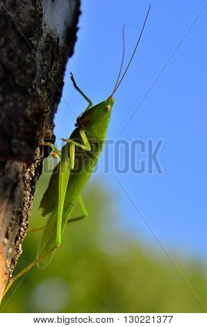 Young, Green Grasshopper Sits On A Tree In The Garden