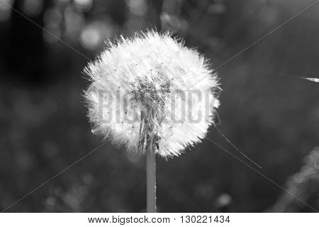 Beautiful dandelion. Black and white photo with a single flower.
