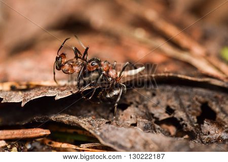 A pair of ants is mating on ground with old leaf