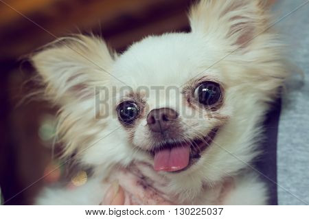 Chihuahua Small Dog Happy Smile, Pet Wounded On Neck