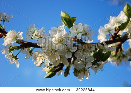 Twig with blossom plum tree flowers by blue sky