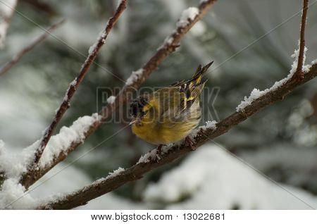 Eurasian Siskin (carduelis Spinus)
