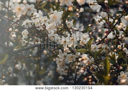 Floral spring background branch of cherry tree with blossoming flowers instagram style. Still life concept, film tonal.