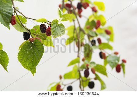 Mulberry tree close up image. Fruit tree