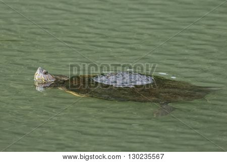 Panamanian Slider (Trachemys venusta panamensis) floating in a river - Panama