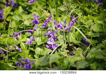 Photo of Wild Violet Flowers in Sunny Day