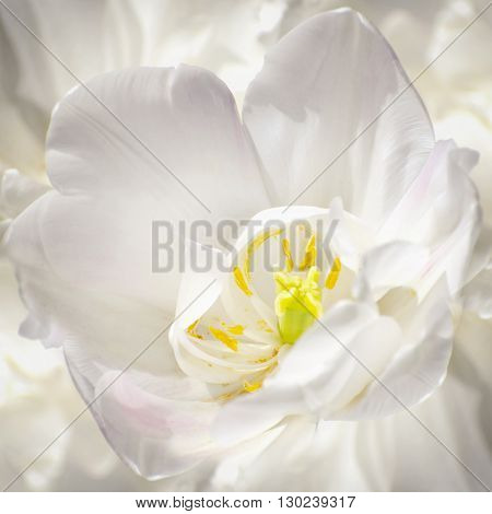 Photo of the White Tulip Natural Background