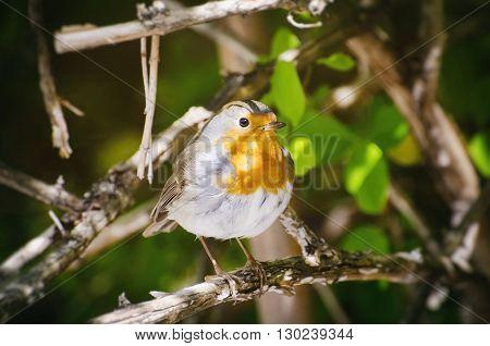 Photo of Robin Bird in Sunny Day