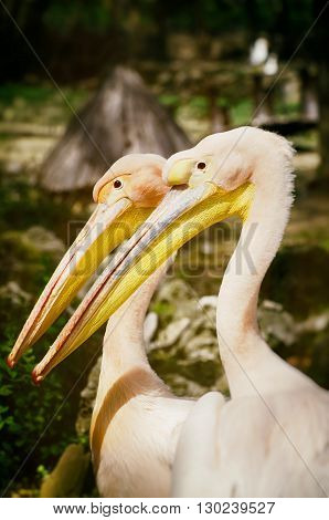 Pair of Two Pelicans in Sunny Day