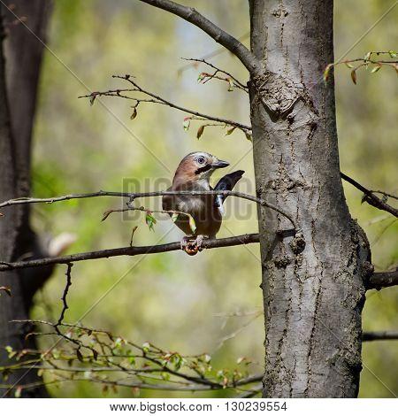 Jay Bird at Tree Branch in Sunny Day
