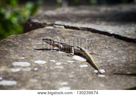 Photo of Small Single Lizard at Stone