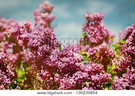 Photo of Lilac Blossom Over Blue Sky