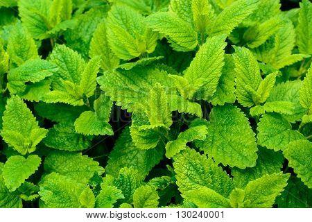 Lemon balm leaves kitchen or health herb - melissa officinalis