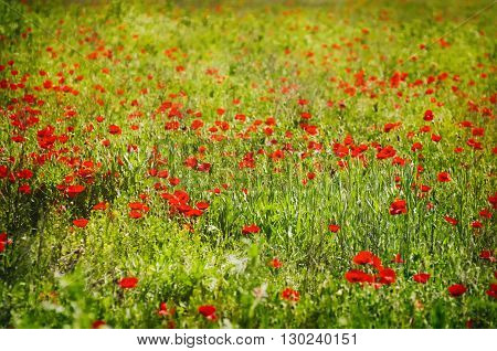 Photo of Poppy Flower Field in Summertime