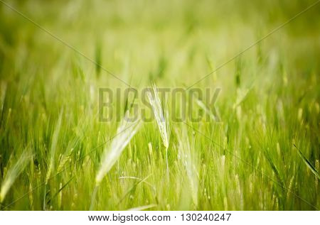 Photo of Wheat Field Background in Summer Time