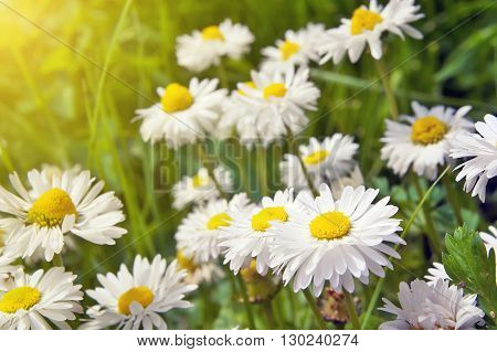 Blooming chamomile. Chamomile blossoms close-up. Nature composition.