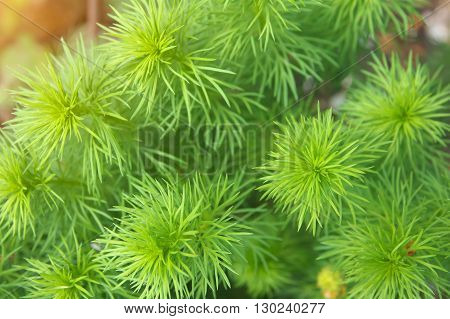green leafs of Adonis flower. green petals of Adonis.  top view