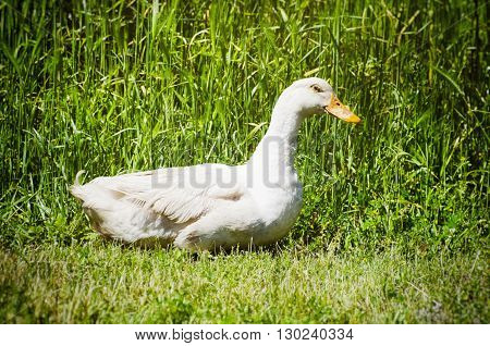 Photo of White Farm Duck in Green Grass