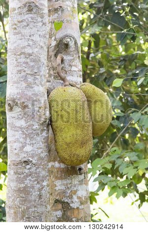A ripe durian fruit hanging on tree