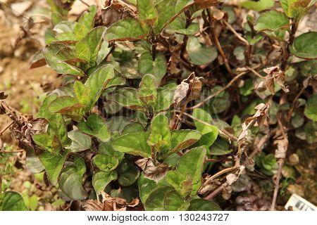 Fresh Mint ~ Spearmint, Peppermint herb in garden