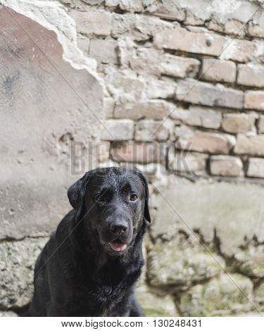 the black puppy  labradror  sitting  down portrait