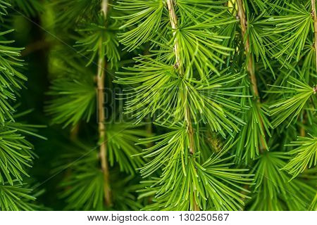 Conifers photographed in nature planted in the yard