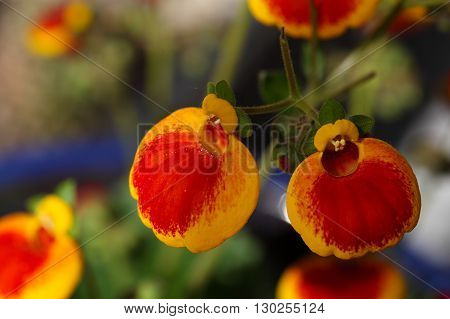 Flowers of a lady's purse flower Calceolaria