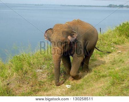 Udawalawe, Sri Lanka, February 11, 2016: An elephant outside the Udawalawe National Park in Sri Lanka.