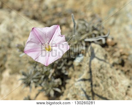 Convolvulus oleifolius Pink Bindweed Plant on dry rock