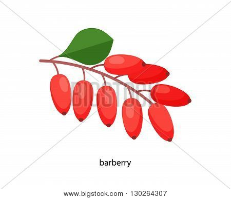Sprig of red barberry with a green leaf