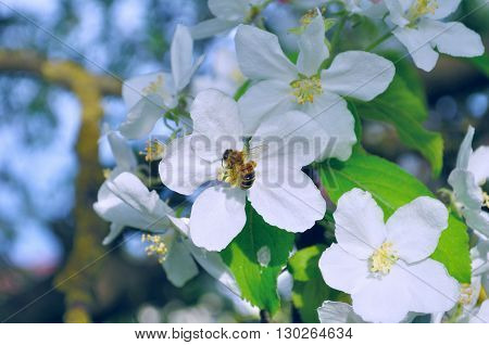 Blooming apple tree with bee collecting nectar from a flower. Natural spring floral background. Apple tree in the spring garden. Selective focus at the central apple flower. Pastel effect applied.