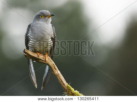 Common cuckoo (Cuculus canorus) in natural habitat