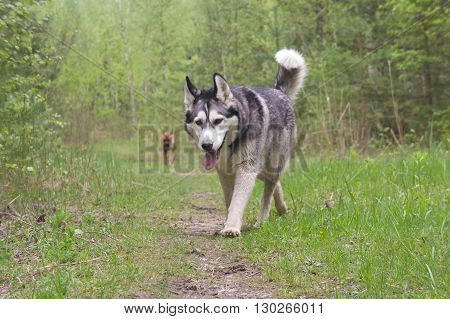 dogs of breed malamute,gray with white,Walks outdoors with dogs. Nature, Animals, Wildlife,Forest,dogs of breed the boxer, brown with black in strips,