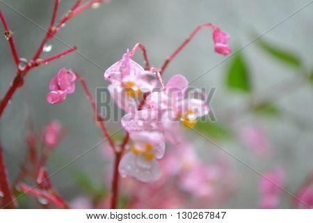 flores rosadas mojdas despues de la lluvia