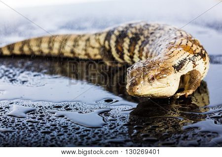 Australian blue tongued lizard in wet dark shiny environement