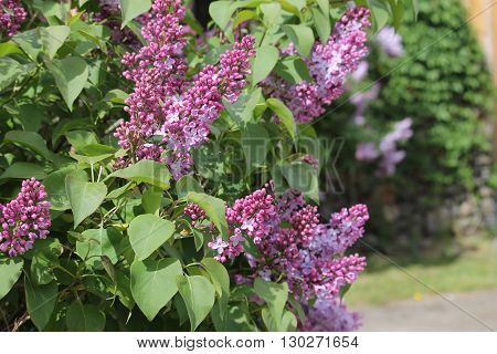 Lilacs close-up and close to the entrance of the home
