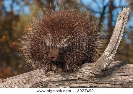 Porcupine (Erethizon dorsatum) Curls Up on Branch - captive animal