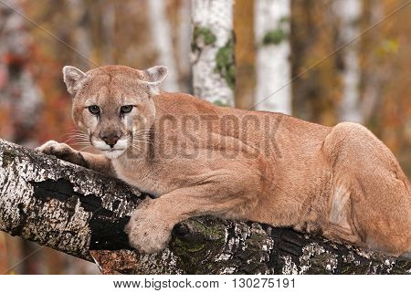 Adult Male Cougar (Puma concolor) Stares Out from Branch - captive animal