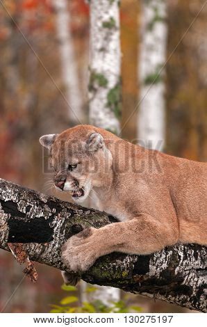 Adult Male Cougar (Puma concolor) Snarls From Branch - captive animal