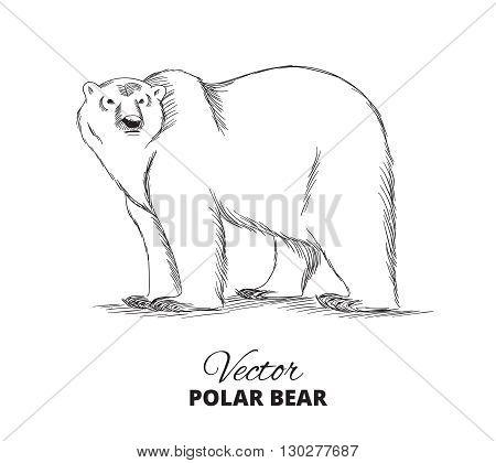 Polar bear hand drawn illustration. Vector sketch.