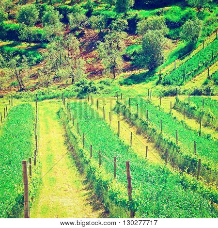 Hill of Tuscany with Vineyard in the Chianti Region RetroEffect