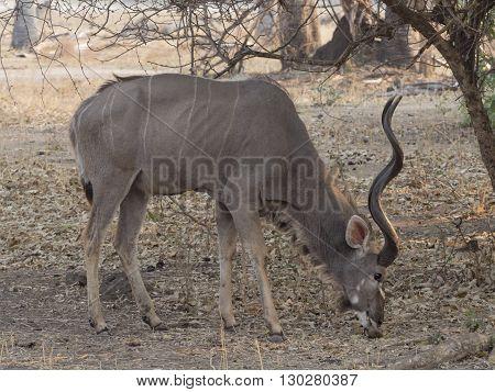 male antelope in the african savannah Malawi