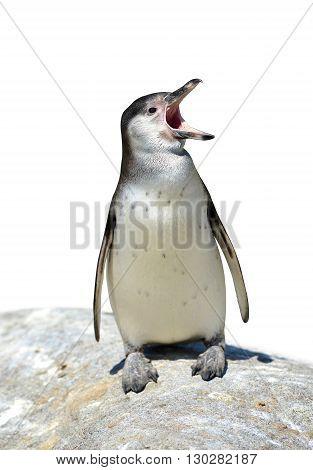 The Humboldt Penguin (Spheniscus humboldti) on white background
