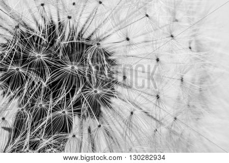 Close up macro of dandelion seeds ready to take flight.