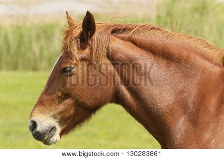 Portrait of gorgeous sorrel horse in meadow
