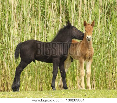 Two cute brown and black foal on the meadow.
